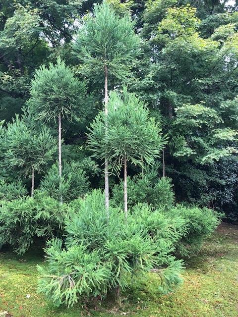 Cedar trees in Japan Dunbeck